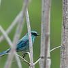 Verditer Flycatcher - thalassoides ssp