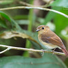 Cryptic Flycatcher