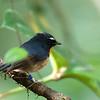 Snowy-browed Flycatcher - mjobergi ssp