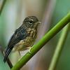 Snowy-browed Flycatcher - mjobergi ssp - immature