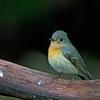 Mugimaki Flycatcher - female