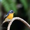 Mugimaki Flycatcher - male