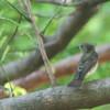 Narcissus Flycatcher - narcissina -female