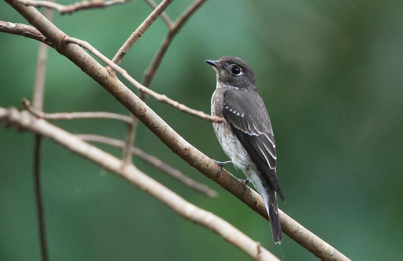 Dark-sided Flycatcher - rothschildi ssp