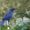 Blue Whistling Thrush - eugenei ssp