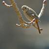 Daurian Redstart - auroreus ssp - female