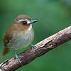 Eyebrowed Jungle Flycatcher - gularis ssp - adult