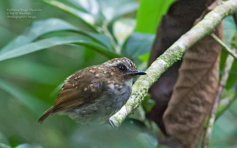 Eyebrowed Jungle Flycatcher - gularis ssp - immature