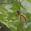 Fork-tailed Sunbird - latouchii ssp