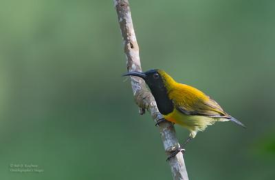 Aethopyga flagrans - Flaming Sunbird