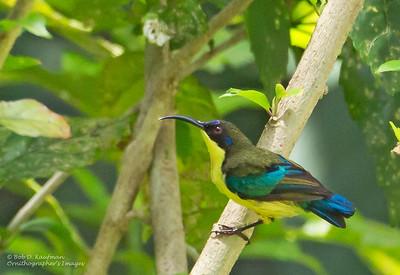 Aethopyga jefferyi - Luzon Sunbird