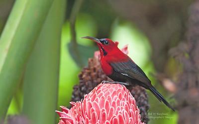 Aethopyga magnifica - Magnificent Sunbird