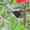 Black-throated Sunbird - anomala ssp
