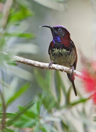 Aethopyga saturata - Black-throated Sunbird