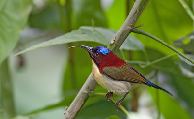 Aethopyga shelleyi - Lovely Sunbird
