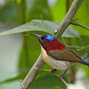 Lovely Sunbird