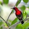 Crimson Sunbird - siparaja ssp