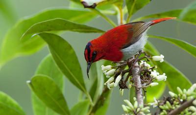Aethopyga temminckii - Temminck's Sunbird