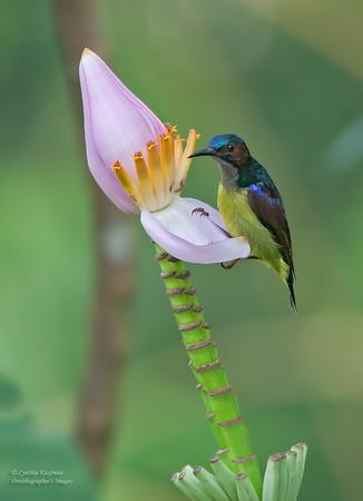 Anthreptes griseigularis - Grey-throated Sunbird