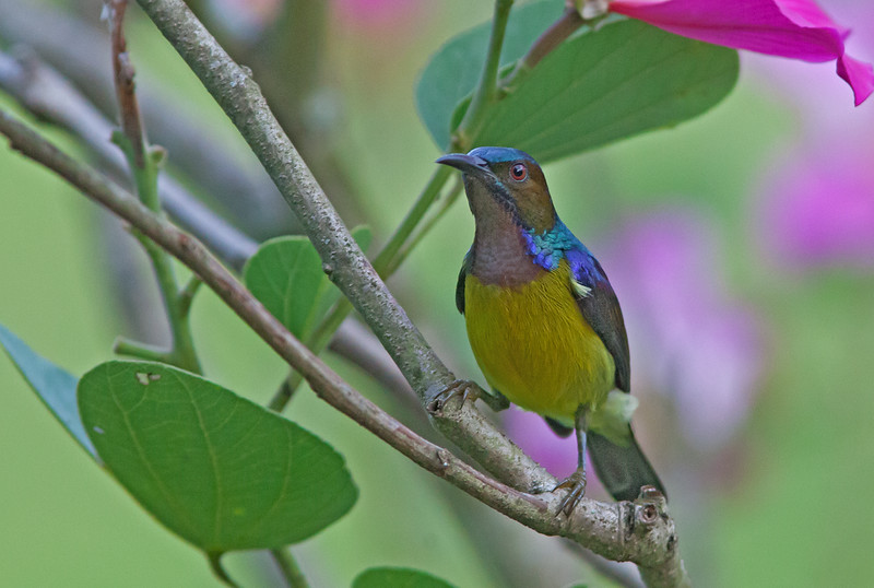 Brown-throated Sunbird - bornensis ssp