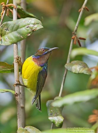 Anthreptes malacensis - Brown-throated Sunbird