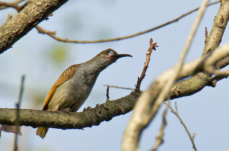 Naked-faced Spiderhunter - luzonensis ssp
