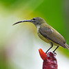 Little Spiderhunter - buettikoferi ssp