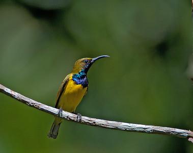 Cinnyris jugularis - Olive-backed Sunbird
