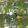 Olive-backed Sunbird - obscurior ssp - male