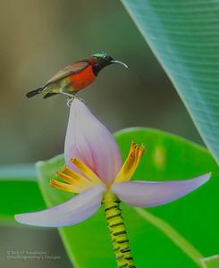 Leptocoma sperata - Purple-throated Sunbird