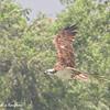 Western Osprey - carolinensis ssp