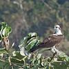 Osprey - carolinensis ssp
