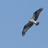 Western Osprey - haliaetus ssp