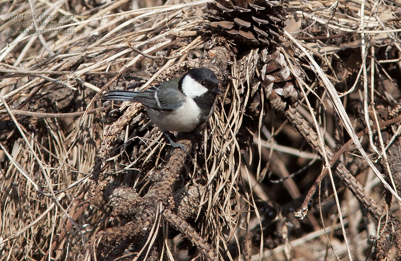 Japanese Tit - minor ssp