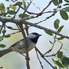 Mountain Chickadee - baileyae ssp
