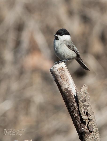 Marsh Tit - hellmayr ssp