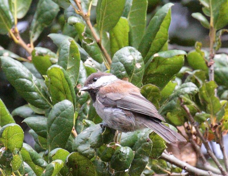 Chestnut-backed Chickadee - rufescens ssp