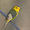 Wilson's Warbler - chryseola ssp