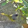 MacGillivray's Warbler - monticola ssp
