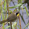 Common Yellowthroat - scirpicola ssp