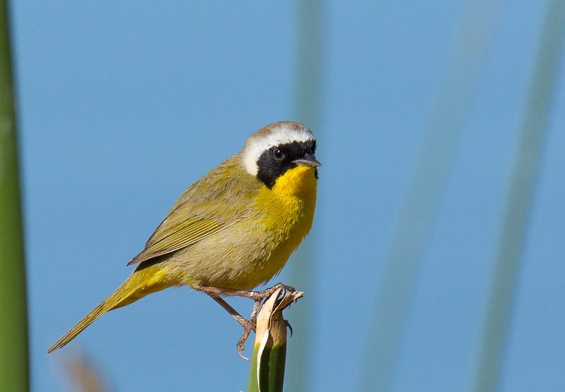 Common Yellowthroat - arizela ssp