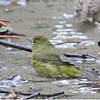 Orange-crowned Warbler - sordida ssp