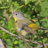 Nashville Warbler - ridgwayi ssp