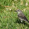 Audubon's Warbler - auduboni ssp - female