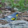Audubon's Warbler - audubonii ssp