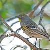Audubon's Warbler - auduboni ssp
