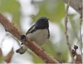 Black-throated Blue Warbler - caerulescens ssp