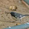 Black-throated Blue Warbler - caerulescens
