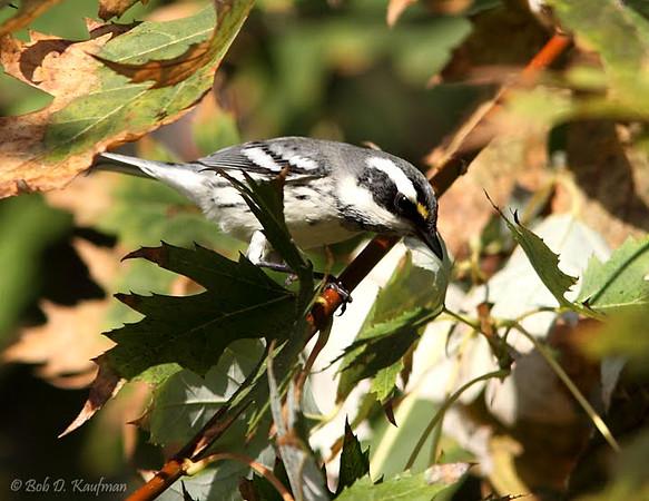 Black-throated Grey Warbler - nigrescens ssp