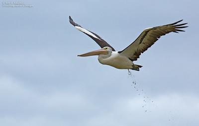 Pelecanus conspicillatus - Australian Pelican
